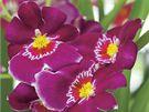Miltonia (Miltoniopsis phalaenopsis) je orchidej s maceškovitými sametovými květy.