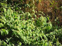 Křídlatku je zakázáno pěstovat a rozšiřovat, jinak vás může čekat i nepříjemné úřední řízení.