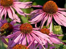 Třapatka nachová (Echinacea) zvyšuje obranyschopnost organismu i proti infekčním onemocněním.