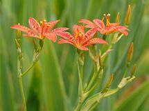 Preventivní žvýkání listů belmakandy čínské neboli anginovníku pomáhá proti nachlazení a angíně.