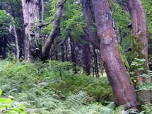 Bukový prales pod Velkým Javorníkem