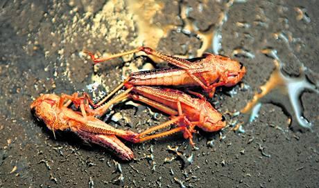 U nás se zatím díváme na hmyz určený ke konzumaci s despektem