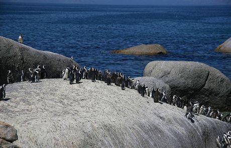 Jihoafrická republika. Tučňácká kolonie na okraji Simon´s Town, poblíž Kapského Města