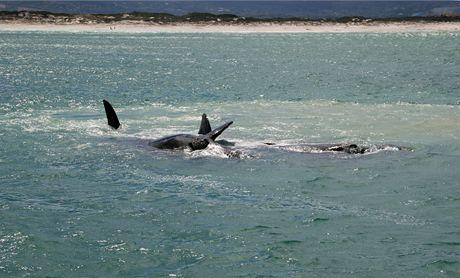 Jihoafrická republika. Skrumáž velryb ve False Bay