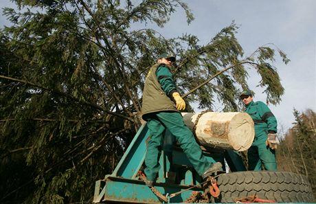 V Herlíkovicích pokáceli strom pro pražské vánoční trhy.