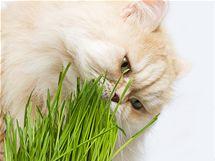 Tráva kočce pomáhá s čištěním žaludku od spolykaných chomáčů chlupů.