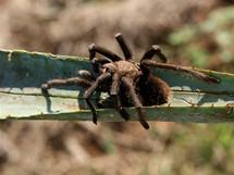 Mexiko, městečko Tequila. Při práci na poli je třeba dávat pozor na nebezpečné tarantule