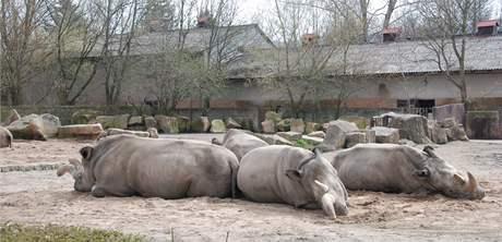 Nosorožec tuponosý v zoo ve Dvoře Králové