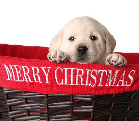 Živý dárek k Vánocům? Na něj pohlížejí milovníci zvířat skepticky, po svátcích se útulky plní k prasknutí