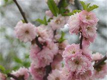Mandloň (Prunus triloba).