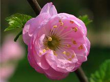 Slivoň (Prunus glandulosa).