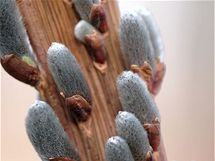 Bizarně rostoucí dračí vrba (Salix sachalinensis).