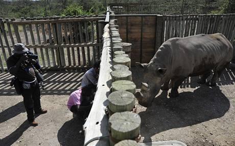 Vzácní nosorožci bílí se už zabydlují v rezervaci Ol Pejeta, kam dorazili ze zoo Dvůr Králové. (20. prosince 2009)