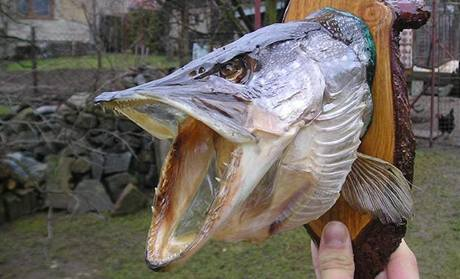 Takto může vypadat vaše vypreparovaná ryba