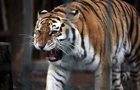 Štědrý den v zoo Ostrava - tygr usurijský (24. prosince 2009)