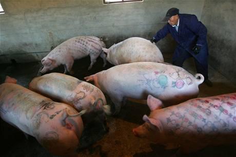 Tetování prasat v Číně letí