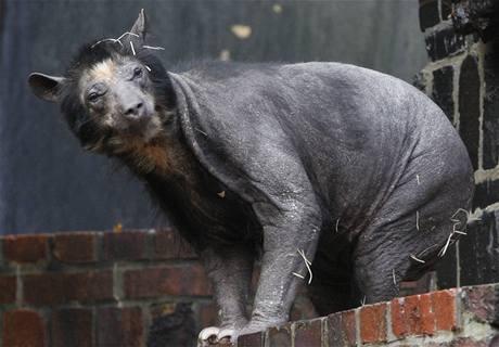 Holá medvědice v lipské zoologické zahradě