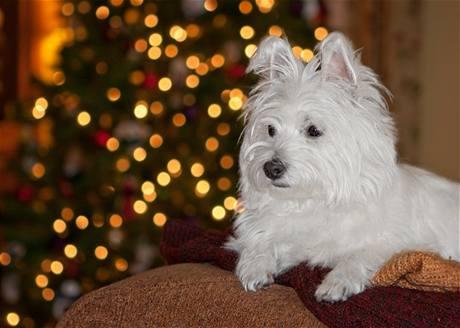 Vánoční portrét pejska