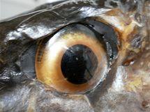 Nasazené skleněné oko