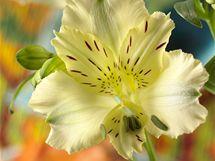 Detail květu alstroemérie (Alstroemeria).