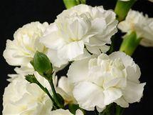 Karafiát (Dianthus) nabízí nepřeberné množství barevných variant.