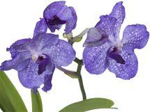 Orchidej Vanda je ideální na sváteční příležitosti spojené s koncem roku.