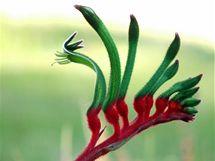 """Tomuto exotickému květu (Anigozanthos) se v angličtině říká """"klokaní tlapka"""" pro zvláštní tvar jejího exotického květu."""