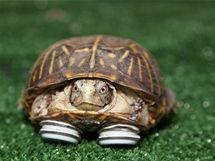 Želva s protézami se už může zase pohybovat