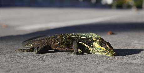 Zima na Floridě. Na snímku leguán, který v chladném počasí znehybněl a spadl ze stromu (6. ledna 2010)