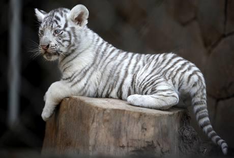 Jeden z pětice bílých tygříků, kteří se v chilské zoo narodili 28. prosince.
