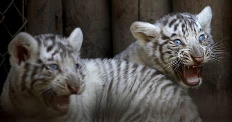 Bílí tygříci, kteří se v chilské zoo narodili 28. prosince.