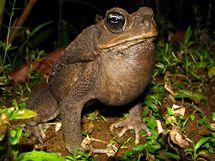 Ropucha obrovská (Bufo marinus).