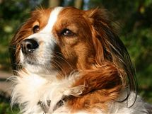 Kooikerhondje, lovecké plemeno specializující se na lov kachen - jedno z lákadel letošní Mezinárodní výstavy psů v Oloumouci.