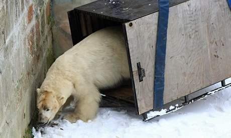 Návrat ledního medvěda Umca do Brna