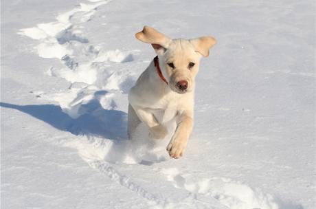 Většina psů sníh miluje. Ideální je tedy pořádně vyvenčit psího miláčka tam, kde sníh čistý a nesolený.
