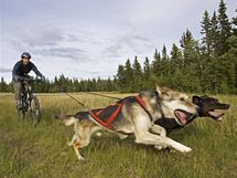 Bikejöring je disciplína, při které je člověk jedoucí na kole spojený pružným lanem s psím spřežením.