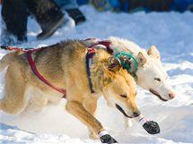 Vyznavačů jízdy se psím spřežením (tzv. mushingu) v Česku v posledních letech výrazně přibývá. Ilustrační foto