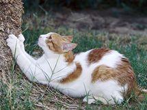 Venkovní kočky si brousí drápky o kmeny stromů.
