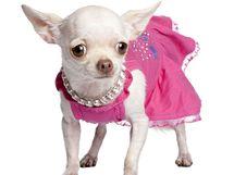 Čivavy z Kalifornie jsou zvyklé na módní oblečky. Ilustrační foto.