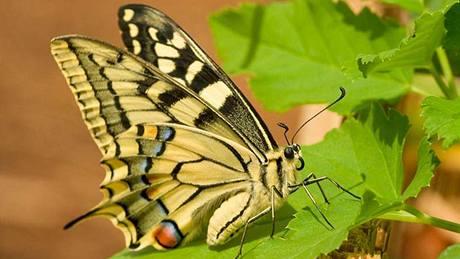 Otakárek fenyklový (Papilie machaon) je označován za jednoho z nejhezčích evropských motýlů.