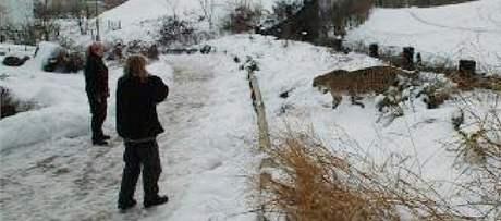 V pražské ZOO utekl z výběhu gepard. (22. ledna 2010)