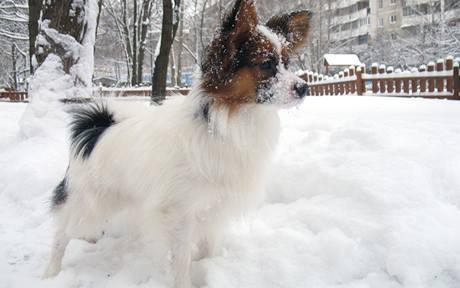 Krátké nohy jsou ve sněhu nevýhodou