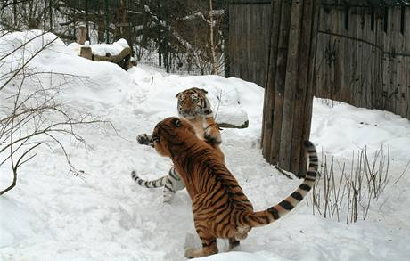 Pár tygrů sibiřských, Xeron a Marylei, během lednových námluv v pražské ZOO.