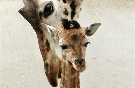 V ústecké ZOO představili mládě Rotschildovy žirafy narozené před týdnem.