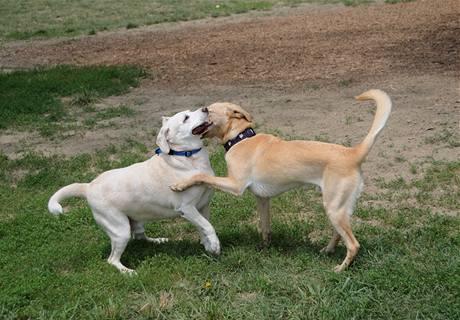 Psi poznají na dálku, jestli je kolega vrtící ocasem skutečně naladěný přátelsky.