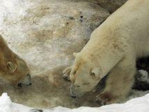 Medvědice Cora a medvěd Umca v brněnské zoo
