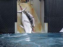 Japonská velrybářská loď tahá z moře mrtvou samici plejtváka i s mládětem.