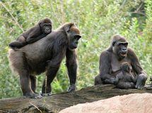 Starší z gorilích mláďat, Moja, na hřbetě tetičky Kamby.