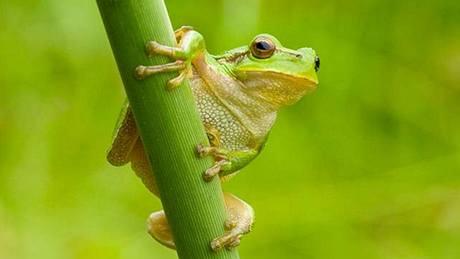 Rosnička zelená (Hyla arborea) patří v České republice mezi silně ohrožené živočichy.