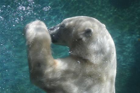 Lední medvědi potápění milují, pohyb pod vodou jim usnadňují široké tlapy s plovacími blánami. Ilustrační foto.